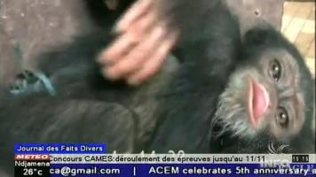 A live chimp found among over 30 chimp skulls and limbs - video