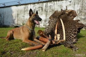 The dogs are trained to identify ivory, skins, bushmeet and pangolin scales, but also weapons and ammunition © PALF