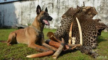 Sniffer dogs in action to save elephants