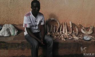 A trafficker arrested with 30 kg of hippo ivory