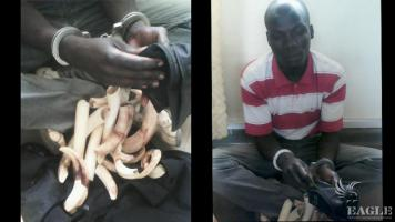 A trafficker with hippo teeth arrested