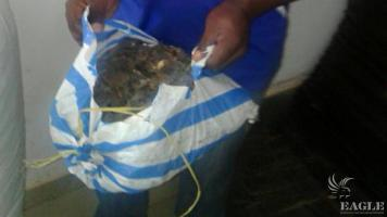 A trafficker arrested with 100 kg of pangolin scales