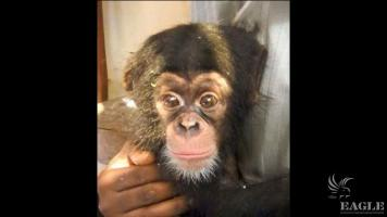 Second chimp baby rescued