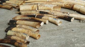 2 notorious traffickers arrested with 206 kg of ivory