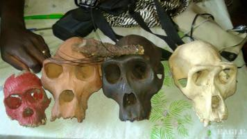 2 ape skulls traffickers arrested