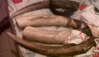 2 ivory traffickers arrested with 34 kg ivory