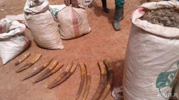A trafficker arrested with ivory and pangolin scales