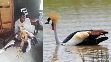 A bird trafficker with 2 Crested Cranes arrested
