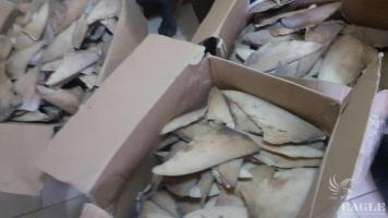 A trafficker arrested with 65 kg of shark fins