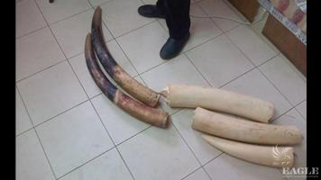 Cameroonian trafficker arrested with 26 kg of ivory