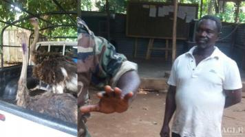 A bird trafficker arrested with two ostriches