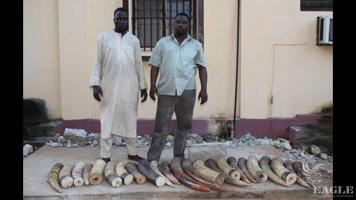 2 ivory traffickers arrested with 124 kg of ivory