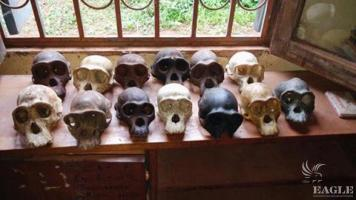 2 traffickers arrested with 12 chimpanzee skulls