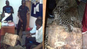 2 traffickers arrested with 3 leopard skins