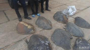 A trafficker arrested  with 8 sea turtle shells